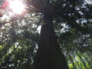 モミの巨木